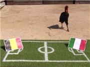 Chim 'tiên tri' Nelson dự đoán Italy thắng Bỉ