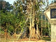 2,5 tỷ đồng phục hồi cây đa Tân Trào