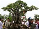 Đi tìm sự thật về cây sanh 120 tỉ trưng bày ở Mỹ Đình (Kỳ 1)