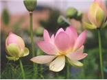 Nhiều lý do để chọn hoa sen là Quốc hoa Việt Nam
