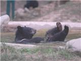 Bao giờ gấu được trở về rừng?