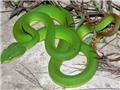 Kiểm tra về sự xuất hiện của rắn lục đuôi đỏ ở các khu dân cư