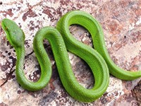 Triệu tập kẻ tung hoang tin về rắn lục đuôi đỏ trên facebook