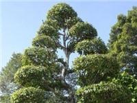 Cây Khế, cây Sộp Mộ cụ Phó Bảng Nguyễn Sinh Sắc là cây Di sản Việt Nam