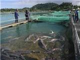 Giấc mơ trứng cá tầm Việt Nam lên báo nước ngoài