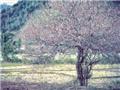 Hoa mận ở Mộc Châu