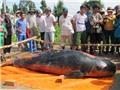 Cá voi dài hơn 2 mét mắc lưới ngư dân