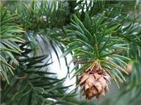 Vườn Quốc gia Bạch Mã nhân giống thành công 2 loài cây quý