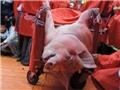 Quản lý tổ chức lễ hội: Chưa tìm ra cách ứng xử với nghi lễ chém lợn