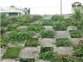 Triền đê ngập tràn rau sạch của người dân Thủ đô