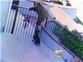 VIDEO: Chú chó nhỏ 'truy sát' cả ba mẹ con gấu hoang để bảo vệ ngôi nhà