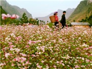 Lên Hà Giang ngắm những triền núi tràn hoa tam giác mạch