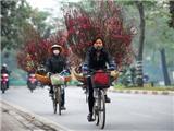 Chuyện Hà Nội: Thương người trồng đào