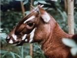 Những bức ảnh cực hiếm về Sao la - loài thú thời cổ đại của Trường Sơn