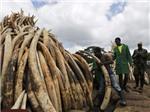 VIDEO: Kenya thiêu hủy hàng 'núi' ngà voi và sừng tê giác