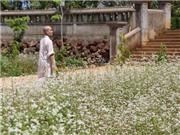 Ngôi chùa tràn ngập hoa tam giác mạch ở xứ hoa Đà Lạt