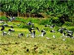 Chim lạ xuất hiện ở Bát Xát - Lào Cai là Cò Nhạn có nguy cơ tuyệt chủng
