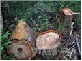 Vụ phá rừng pơ mu Nam Giang, Quảng Nam: 14 đối tượng ra đầu thú