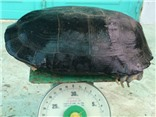 Cụ rùa 9kg mắc cạn trong ao tôm được trả giá 50 triệu đồng