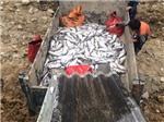 Cá hồi Sa Pa chết bất thường hàng loạt