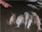 Cá chết dạt vào bờ dài hàng cây số ở hồ Linh Đàm (Hà Nội)
