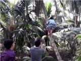 Độc đáo thi leo dừa ở Phú Yên
