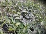 VIDEO: Rùng mình với rau muống bẩn ở ngoại thành Hà Nội