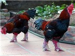 Quanh thông tin gà Đông Tảo chết hàng loạt tại Hưng Yên